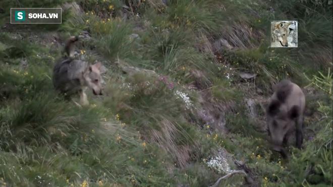 Đụng mặt kẻ thù số một, lợn rừng phản ứng quyết liệt hòng tìm đường sống - Ảnh 1.