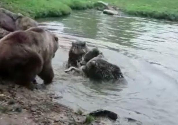 Đàn gấu xé xác sói cái trong vòng 'một nốt nhạc' - Ảnh 2.