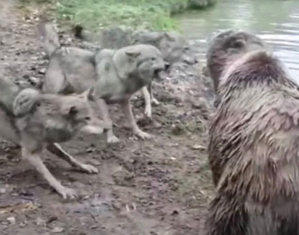 Đàn gấu xé xác sói cái trong vòng 'một nốt nhạc' - Ảnh 3.
