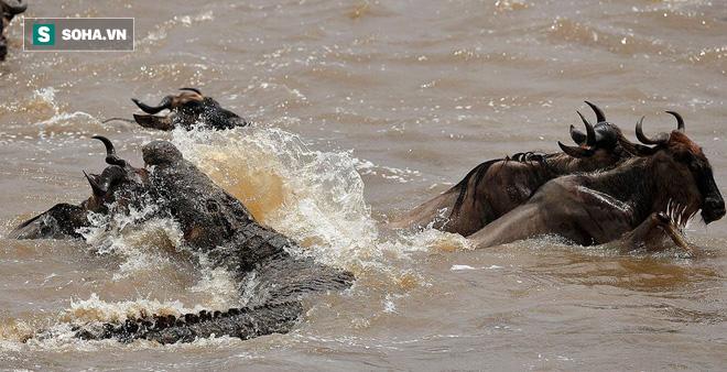Bị 3 con cá sấu to lớn vây hãm, linh dương dùng kế ve sầu thoát xác: Kết cục ra sao? - Ảnh 1.