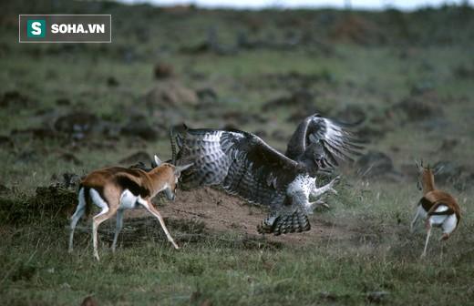 Bảo vệ xác con, linh dương mẹ đối đầu chim ăn thịt lớn nhất châu Phi: Kết cục ra sao? - Ảnh 1.