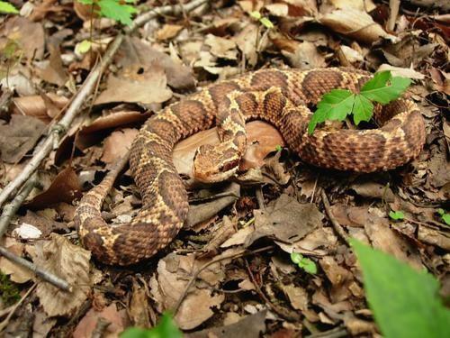 Bí mật ẩn sau loài rắn được xem là thần dược cho đàn ông Nhật Bản - Ảnh 1.