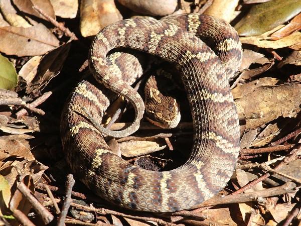 Bí mật ẩn sau loài rắn được xem là thần dược cho đàn ông Nhật Bản - Ảnh 2.