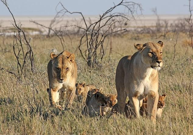 Cảnh báo: Không chỉ tê giác và hổ, sư tử châu Phi cũng sẽ sớm biến mất thôi - Ảnh 1.