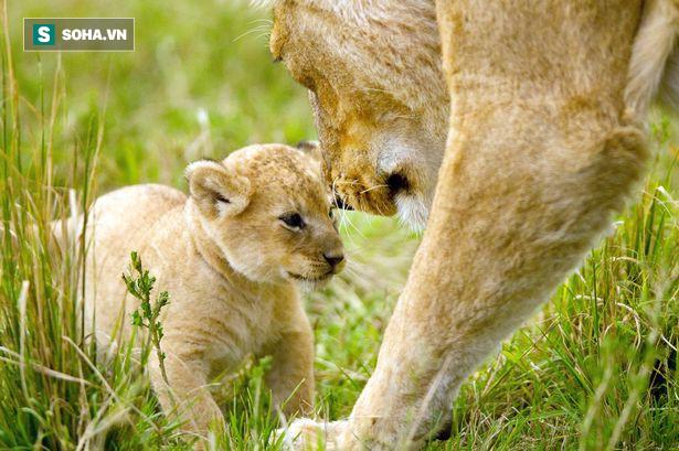 BBC gây xúc động mạnh với khoảnh khắc từ biệt đứa con bị trúng độc của sư tử cái - Ảnh 1.
