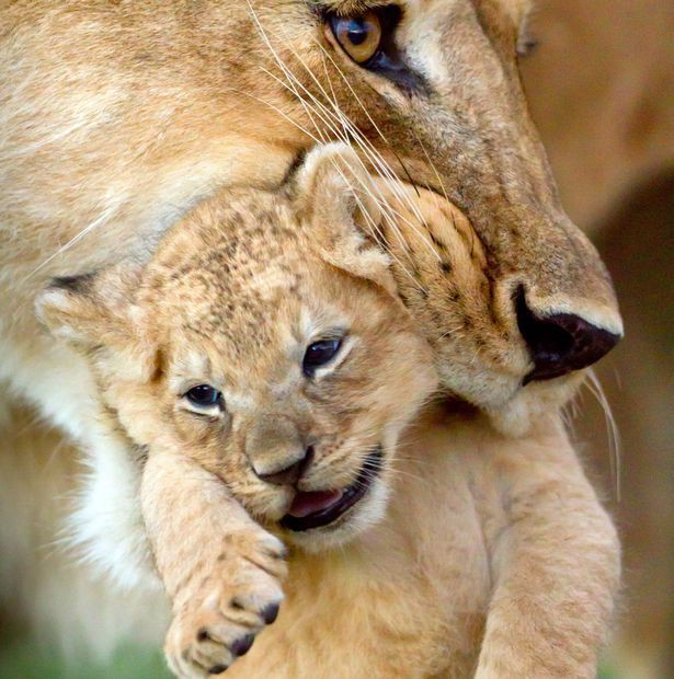 BBC gây xúc động mạnh với khoảnh khắc từ biệt đứa con bị trúng độc của sư tử cái - Ảnh 3.