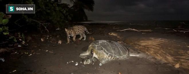 Thiếu thức ăn, báo đốm mò ra tận biển để tìm con mồi không ai ngờ tới - Ảnh 2.