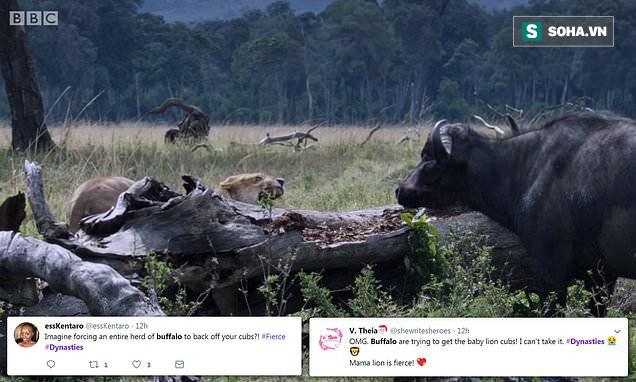 Ngược đời: Sư tử cái oằn mình chống trả bầy trâu rừng để bảo vệ hai con - Ảnh 2.