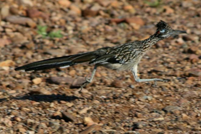6 loài vật có khả năng thích nghi tuyệt vời nhất trong sa mạc khô cằn - Ảnh 13.