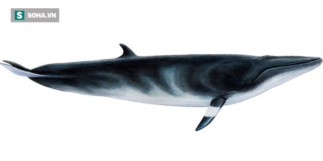 Hung thần biển cả thì nhau cắn xé cá voi Minke khiến cả vùng biển loang màu máu - Ảnh 1.
