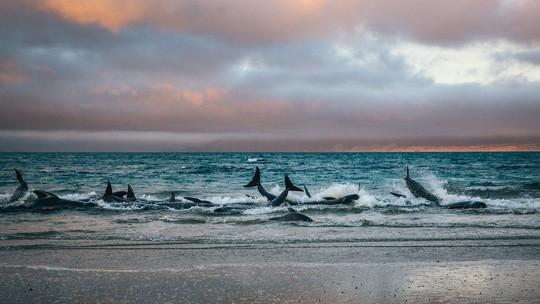 Nước mắt 145 con cá voi chết trên bờ biển New Zealand - Ảnh 3.