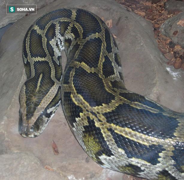 Mãng xà kích thước lớn nhất Việt Nam: Dài đến 8m, nặng hơn 100kg - Ảnh 1.