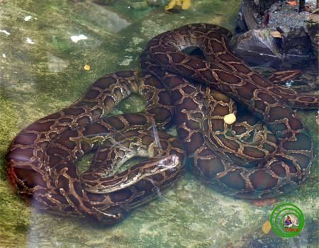 Mãng xà kích thước lớn nhất Việt Nam: Dài đến 8m, nặng hơn 100kg - Ảnh 5.