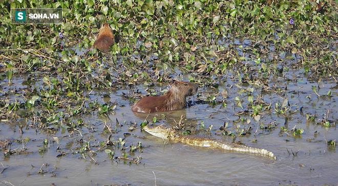 Bị cả trăn lẫn cá sấu truy sát, chuột lang liệu có thoát được cửa tử? - Ảnh 1.