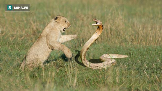 Tránh vỏ dưa gặp vỏ dừa: Vừa thoát khỏ hổ mang, cả nhà sư tử lại tán loạn vì bầy voi dữ - Ảnh 1.
