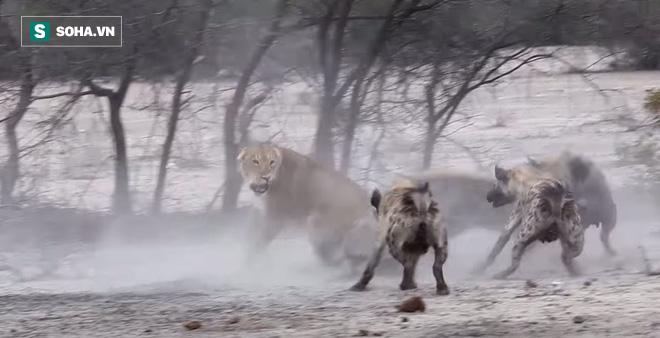 Bị 20 con linh cẩu bao vây cắn xé, sư tử cái hành động lạ lùng phút cuối: Nó có thoát? - Ảnh 1.