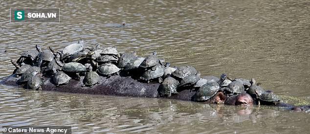Chen chúc trên lưng hà mã, đàn rùa đánh liều xin quá giang, còn được tắm nắng thư giãn  - Ảnh 1.