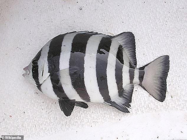 Kỳ lạ: Loài cá ngoại lai vượt hơn 8.000km tới Mỹ nhờ... sóng thần - Ảnh 1.