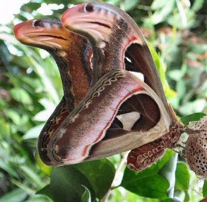 Truy tìm nguồn gốc sinh vật giống rắn 3 đầu đang gây bão: Hóa ra là loài tuyệt đẹp và khá phổ biến ở Việt Nam - Ảnh 5.