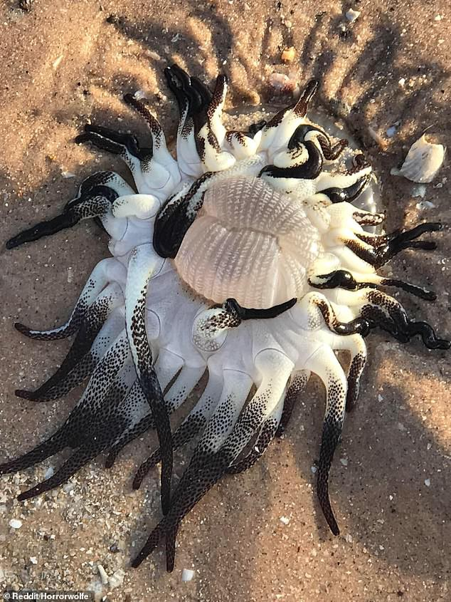 Quái vật kỳ dị thân nhiều xúc tu ngoe nguẩy xuất hiện tại bờ biển Úc - Ảnh 1.