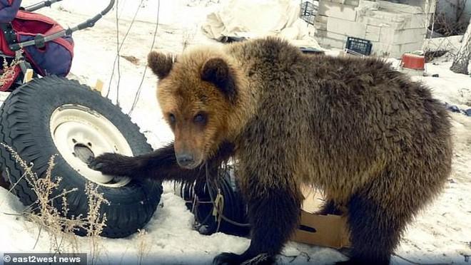 Nga: Chú thợ săn nuôi dưỡng gấu con từ tấm bé, lớn lên gấu xổng chuồng rồi ăn thịt chủ luôn - Ảnh 4.