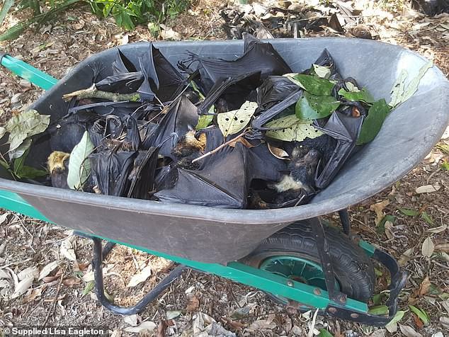 Hàng nghìn xác dơi từ trên trời rơi xuống khu dân cư ở Úc: Cảnh tượng như trong phim kinh dị - Ảnh 2.