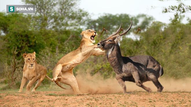 Bị sư tử trắng trợn cướp con mồi ngay trước miệng, cá sấu chỉ biết cong đuôi chạy - Ảnh 1.