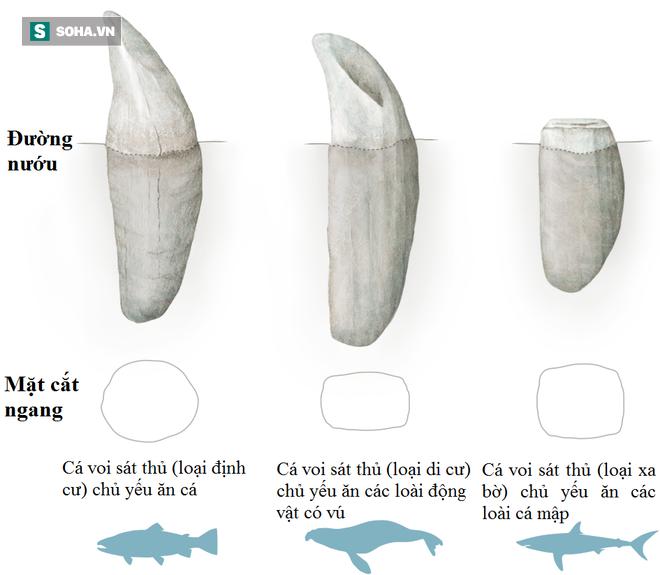 Trò chơi vương quyền trên biển (P4): Sáng tỏ hiểu lầm về loài cá voi sát thủ - Ảnh 2.