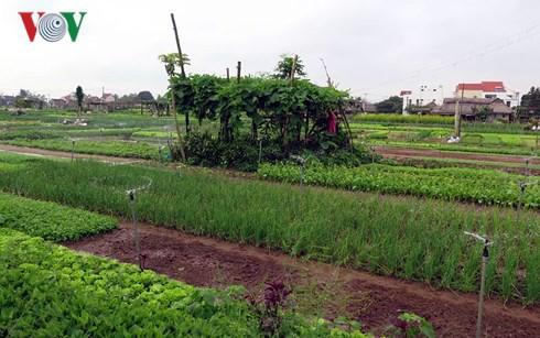 Giá rau rớt thê thảm khiến nông dân điêu đứng - Ảnh 1.