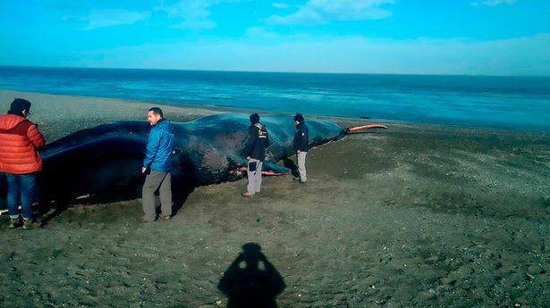 Xác cá voi xanh 20m trôi dạt bên bờ biển và hành động khó chấp nhận của dân địa phương - Ảnh 3.
