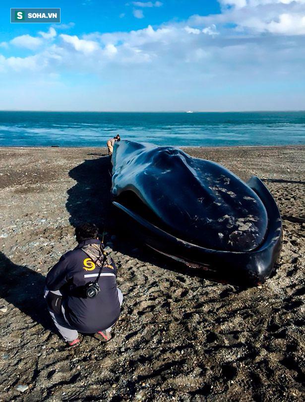 Xác cá voi xanh 20m trôi dạt bên bờ biển và hành động khó chấp nhận của dân địa phương - Ảnh 4.