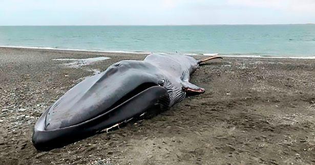 Xác cá voi xanh 20m trôi dạt bên bờ biển và hành động khó chấp nhận của dân địa phương - Ảnh 1.