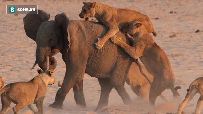 Hùng hục chạy đi săn, sư tử bất ngờ bị đá lệch hàm vì con mồi không ngờ tới - Ảnh 1.