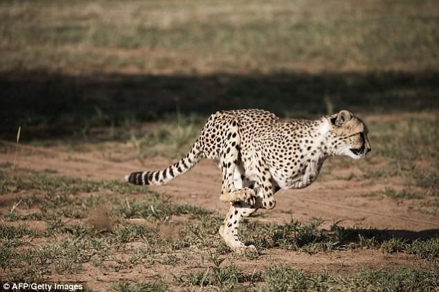 Bí mật bất ngờ đằng sau tốc độ thần thánh của báo đốm: 100km/h - Ảnh 1.
