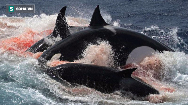 Trò chơi vương quyền trên biển (P3): Hạ sát cá mập trắng khổng lồ trong nháy mắt! - Ảnh 1.