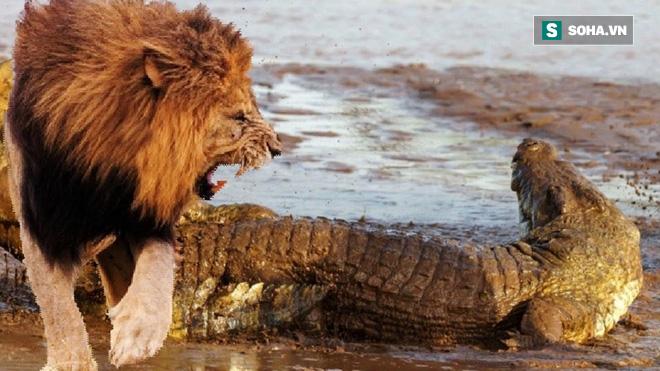 Hai sư tử đực bơi qua sông thì bị cá sấu tập kích, phép màu ở phút cuối! - Ảnh 2.