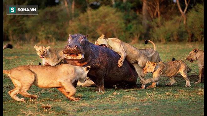 Sư tử rủ nhau đi săn: Hai đánh một mà vẫn vừa chột vừa què - Ảnh 1.
