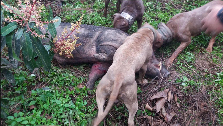 """CLB chó săn cho chó """"tử chiến"""" với lợn rừng: Chúng tôi vẫn chơi vì pháp luật không cấm"""
