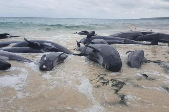 Úc: Hơn 100 con cá voi mắc cạn, phơi xác trên bãi biển - Ảnh 4.