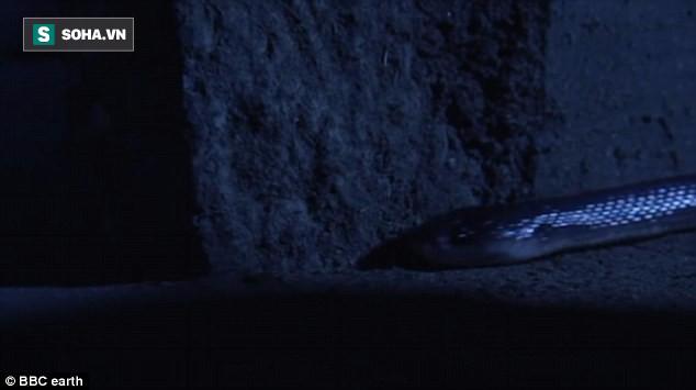 Nhẹ nhàng trong đêm tối, loài rắn độc này có thói quen giết người đáng sợ ở Ấn Độ - Ảnh 1.