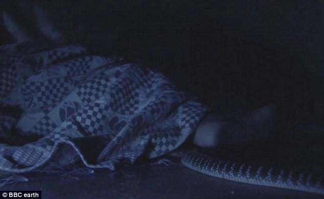 Nhẹ nhàng trong đêm tối, loài rắn độc này có thói quen giết người đáng sợ ở Ấn Độ - Ảnh 3.