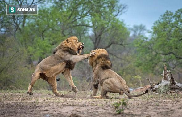 Trận chiến vương quyền: 4 sư tử đực bao vây hạ bệ vị vua già - Ảnh 1.