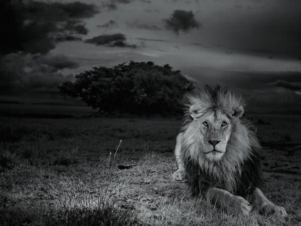 Trận chiến vương quyền: 4 sư tử đực bao vây hạ bệ vị vua già - Ảnh 3.