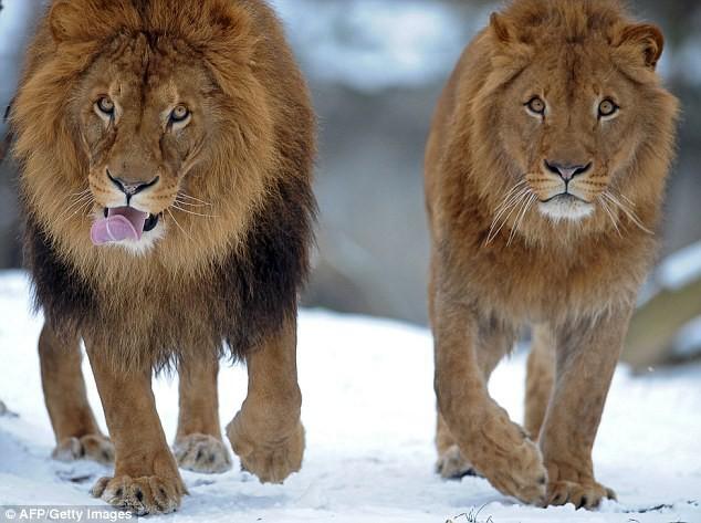 Từ sư tử cái, vịt cái đến loài cá vây chân: khi con cái mới là... phái mạnh - Ảnh 1.