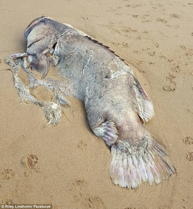 Phát hiện thủy quái trôi dạt vào bờ biển Úc: Đến nay chưa ai biết nó là con gì - Ảnh 2.