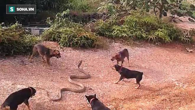 Không có khả năng kháng độc, bầy chó vẫn có cách khiến rắn hổ mang chúa thất điên bát đảo - Ảnh 1.