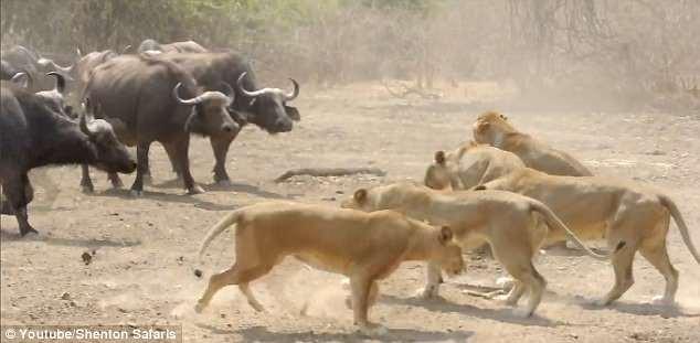 Bầy sư tử bất ngờ nhận đòn đau từ vũ khí bí mật của con mồi - Ảnh 1.