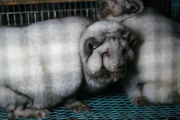 Cáo bị nhồi ăn, chịu thảm cảnh đau đớn trong lồng chật hẹp vì lớp lông quý giá - Ảnh 3.
