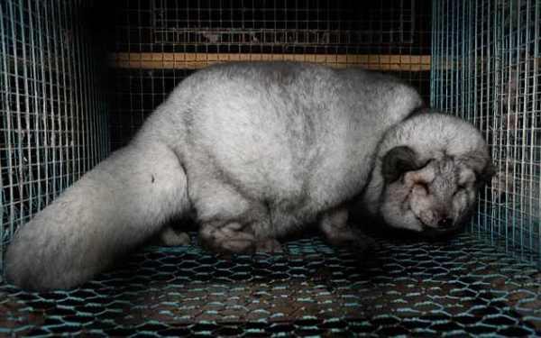 Cáo bị nhồi ăn, chịu thảm cảnh đau đớn trong lồng chật hẹp vì lớp lông quý giá - Ảnh 4.