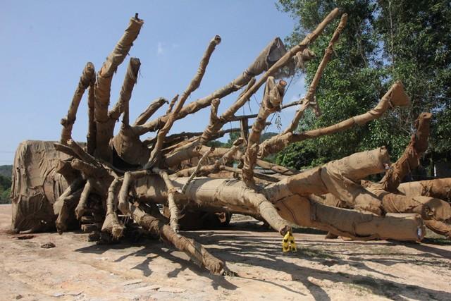 Vụ CSGT bắt 3 xe chở cây khổng lồ: Tiền mua cây khủng chỉ 14 triệu đồng - Ảnh 1.